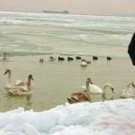 Порядка 20 лебедей на время оселились на пляже Южного